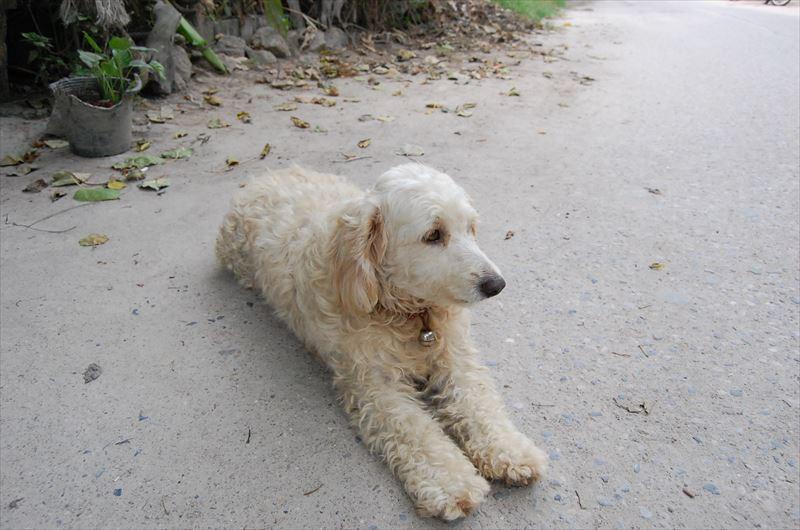【タオ島】犬