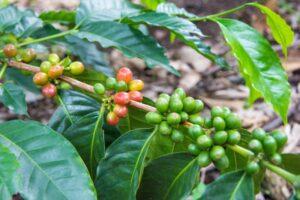 サレント コーヒー農園「EL OCASO」